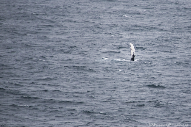 whale watching in Alaska. This particular whale seemed to wave at us as we passed by