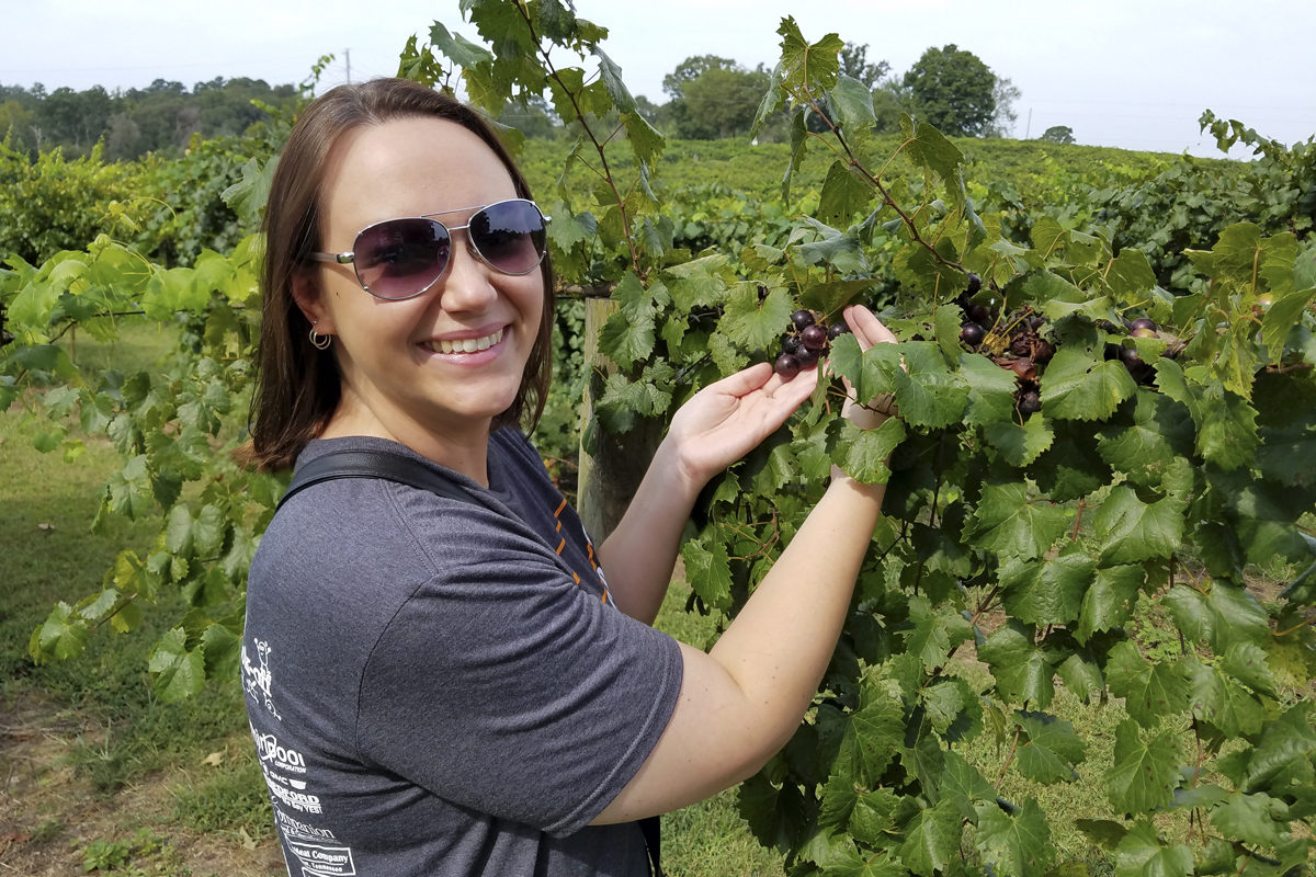 Muscadines on the vine at Morris Vineyard in Charleston, Tennessee