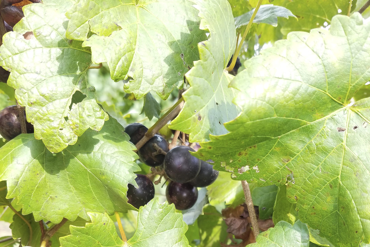 Muscadines on the vine at Morris Vineyard and Winery in Tennessee