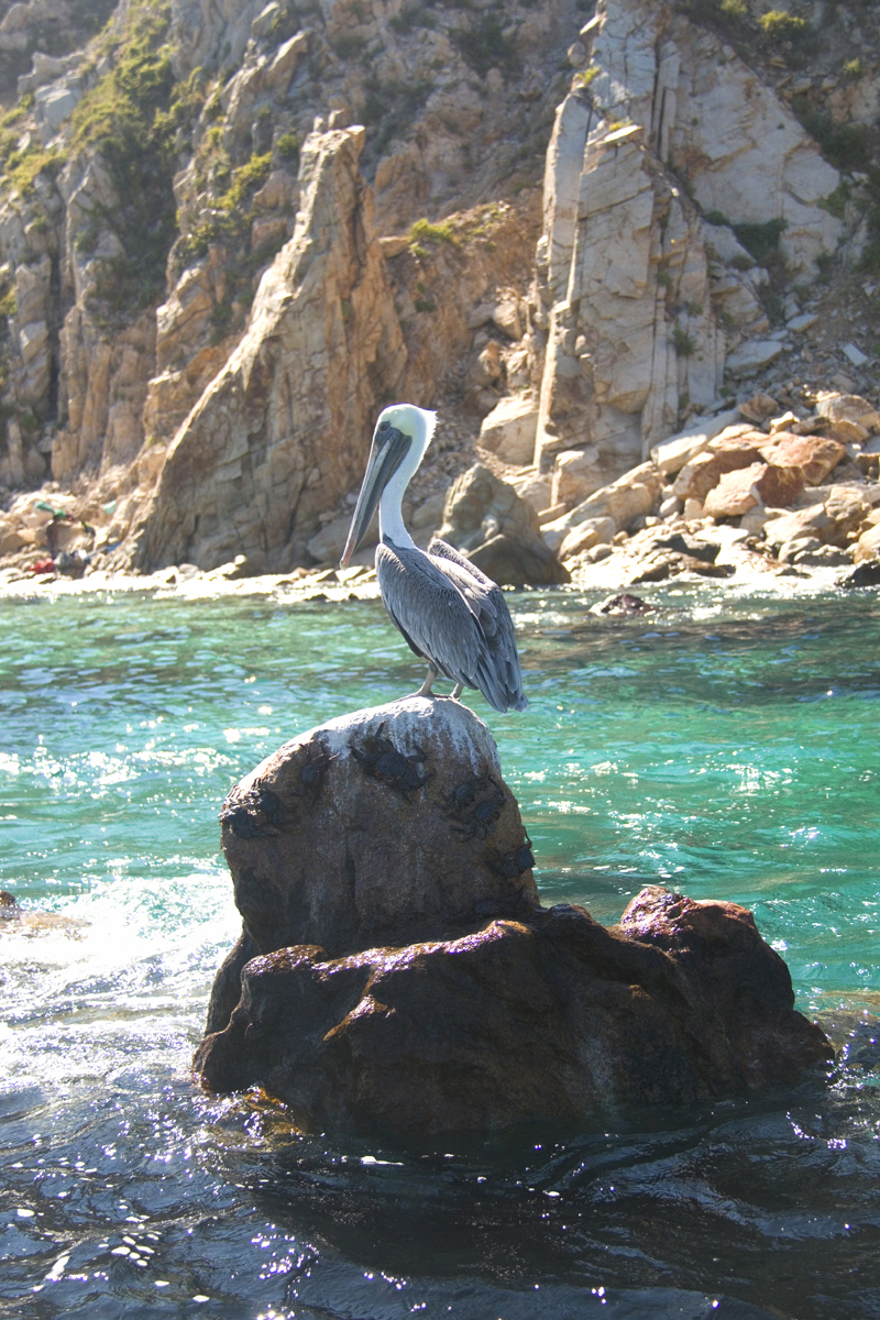 Pelican on the rocks in Cabo San Lucas, Mexico